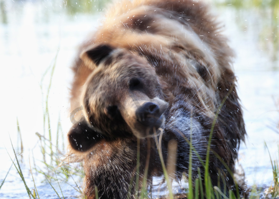 Grizzly Bear Wildlife Wall Art   Robbie George Photography