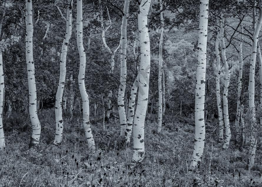 Crooked Aspens   Utah Photography Art | Namaste Photography