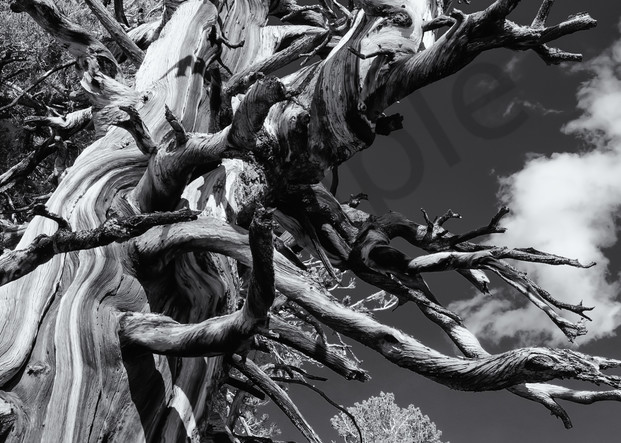 Bristle Cone Pine   White Mountains Ca Photography Art | Namaste Photography