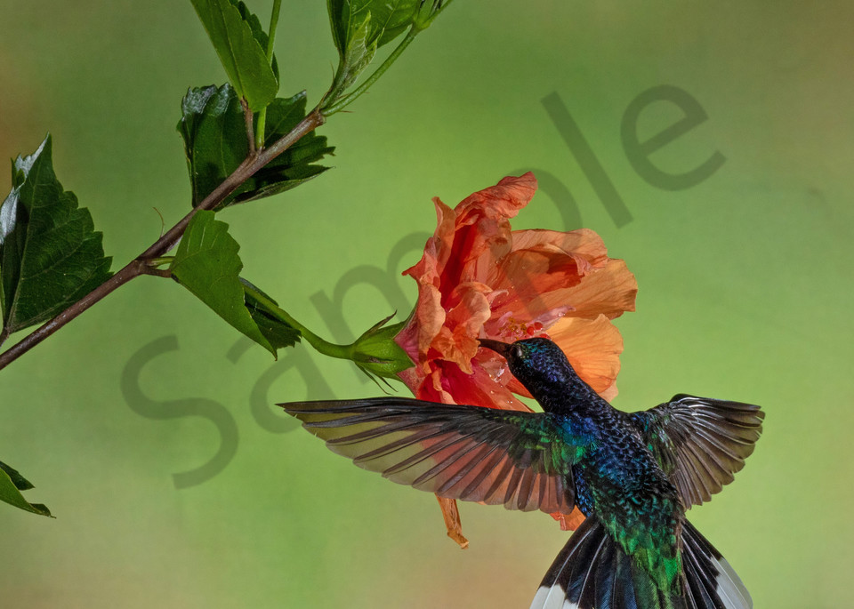 Bronze Tailed Plumeleteer On Hibiscus Photography Art | John Martell Photography