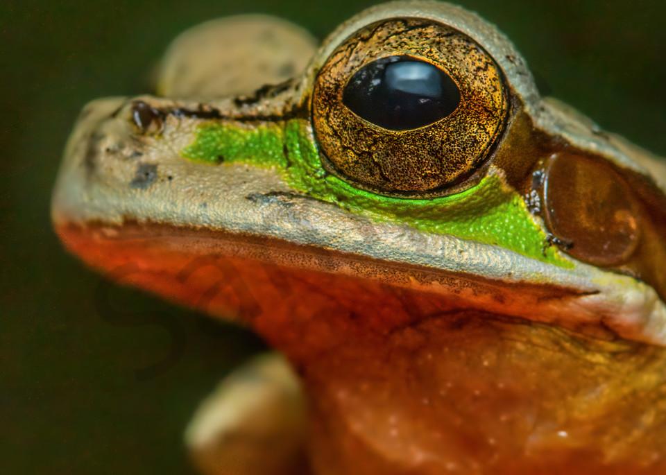 Masked Tree Frog Photography Art   John Martell Photography