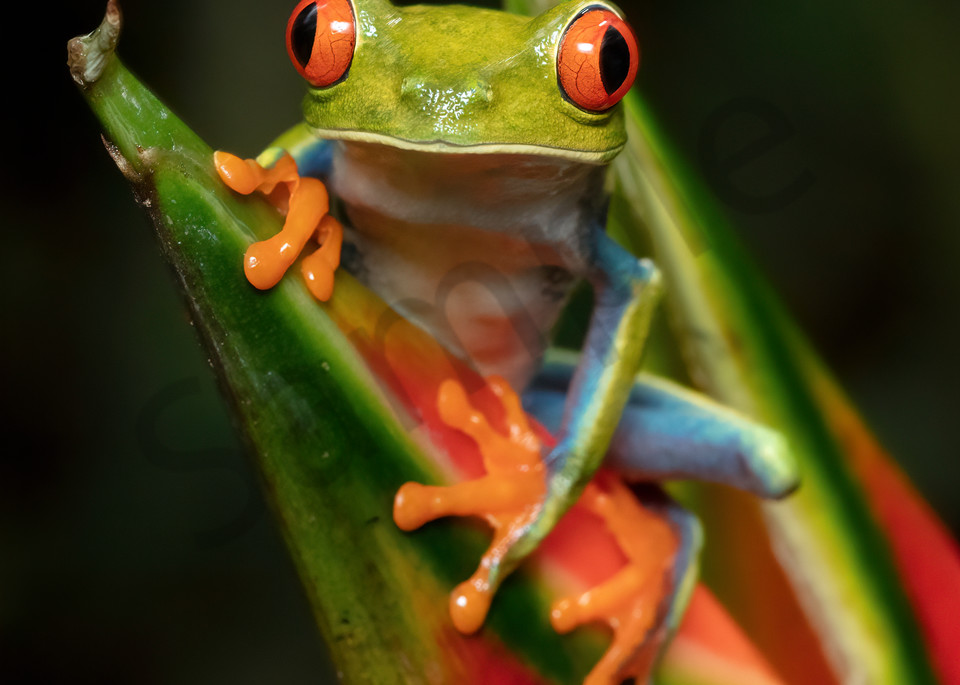 Red Eyed Tree Frog 5 Photography Art | John Martell Photography