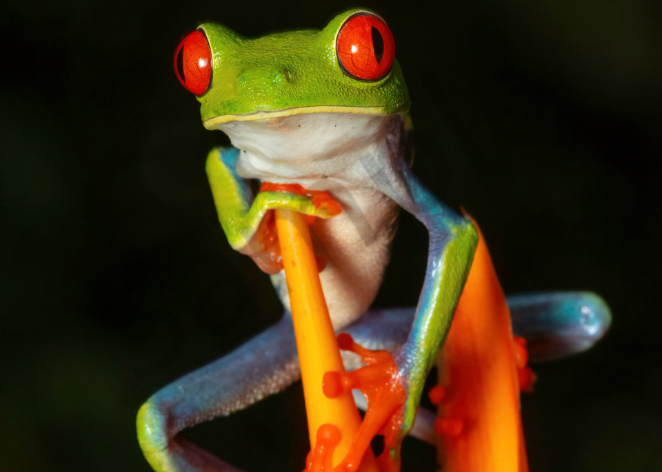 Red Eyed Tree Frog 6 Photography Art | John Martell Photography