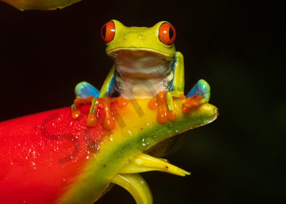 Red Eyed Tree Frog 3 Photography Art | John Martell Photography