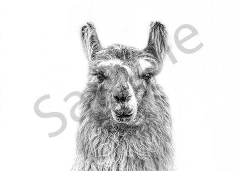 A Little Longer Llama Photography Art   Beth Houts Photography