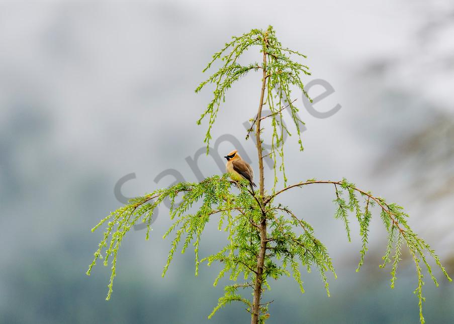 Cedar Waxwing (Bombycilla cedrorum) sitting in young hemlock tree.  Olympic National Forest, WA.  Summer.