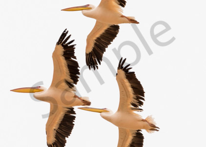 Pelicans in vertical panorama