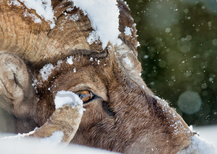 Bighorn Sheep | Robbie George Photography