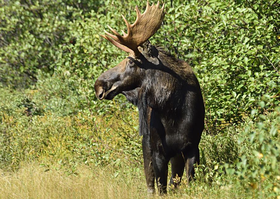 Bull Moose in Profile