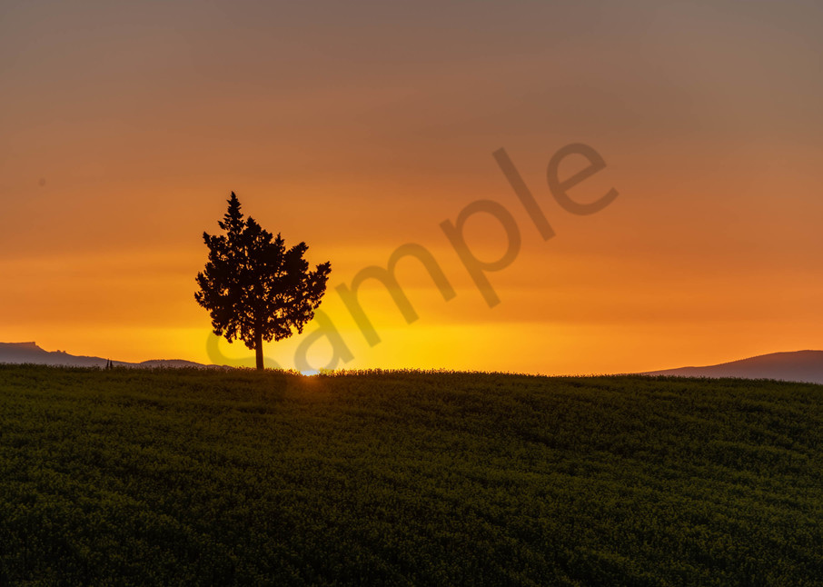 Lone tree mustard field sunset