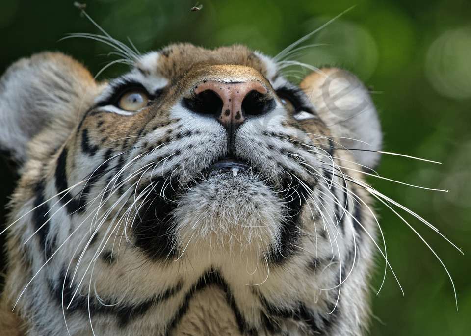Majestic tiger concentrating on their next meal. bengal, tiger, fly, overhead