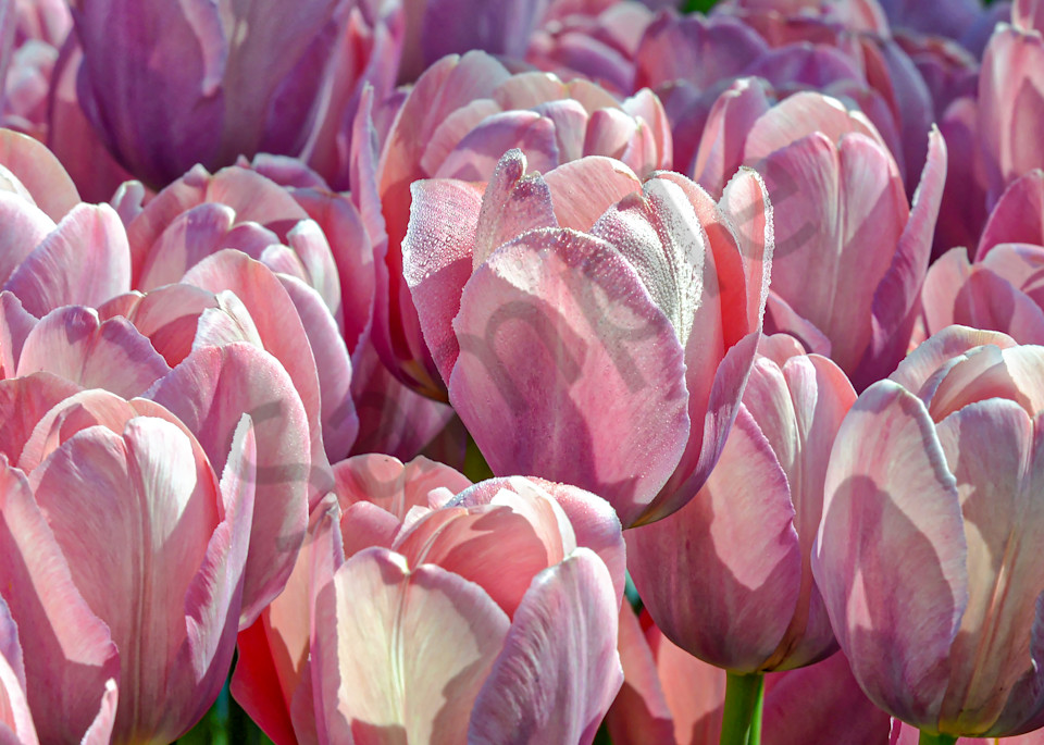 Candy Apple Delight soft reds and white tulips