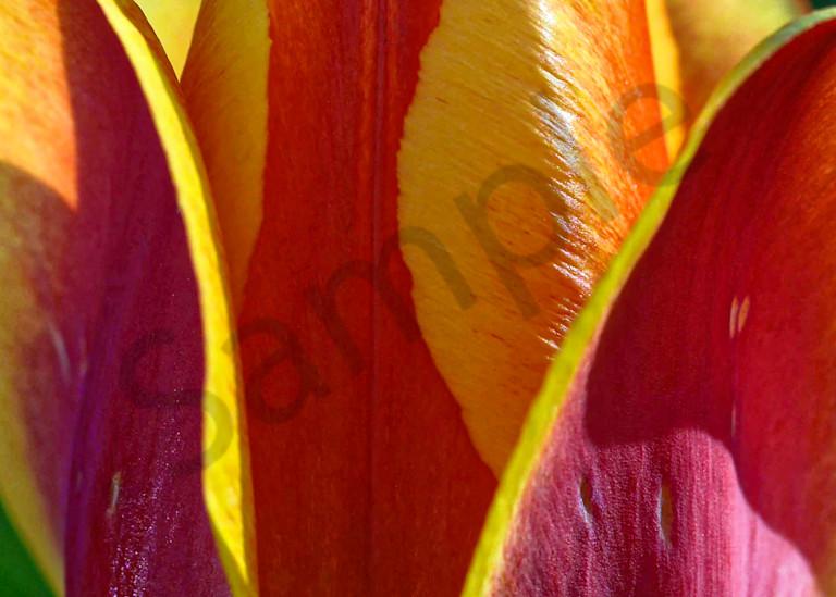 American Cream Darwin Hybrid tulip