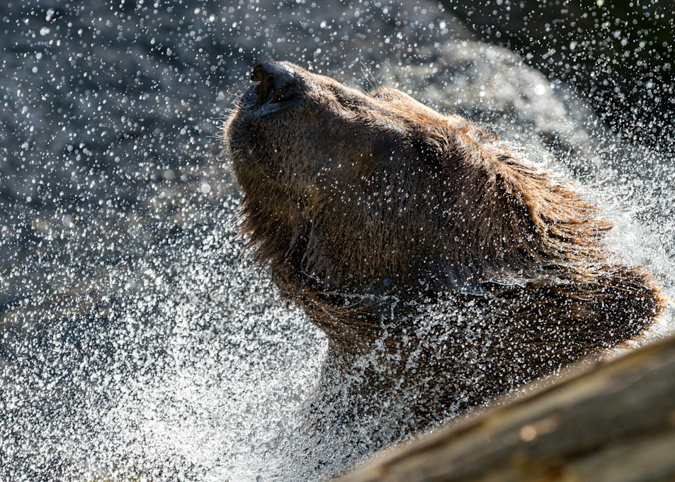 Chillin grizzly Brown Bear