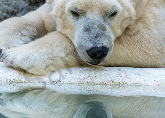 Tundra Polar bear Bronx Zoo