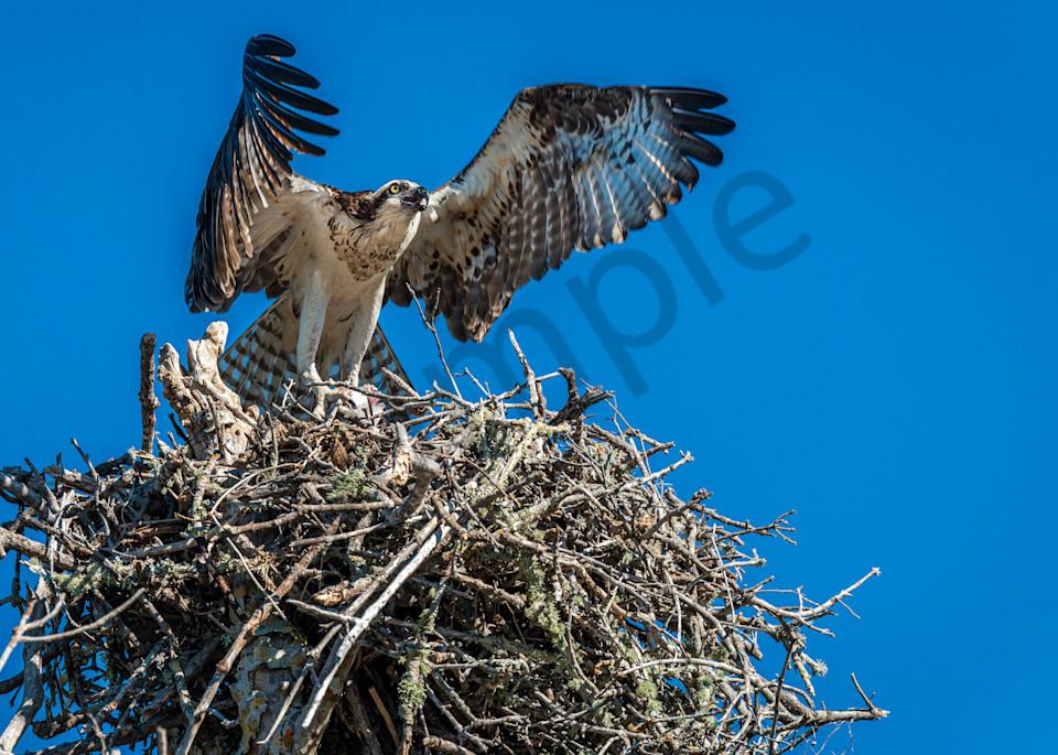 Large osprey nest Photography By Festine