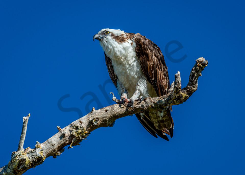 Osprey talons  Photography By Festine