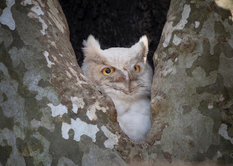 An incredible rare leucistic great horned owl - fine art photography prints - JP Sullivan Photography