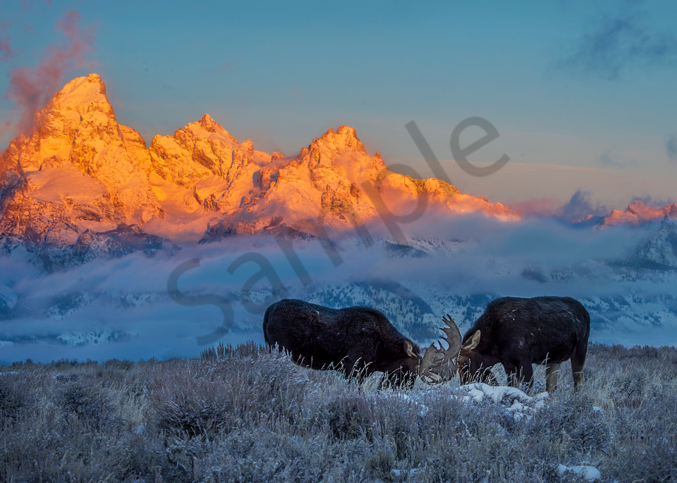 Sunrise, moose, Tetons.