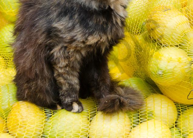 Lemon cat