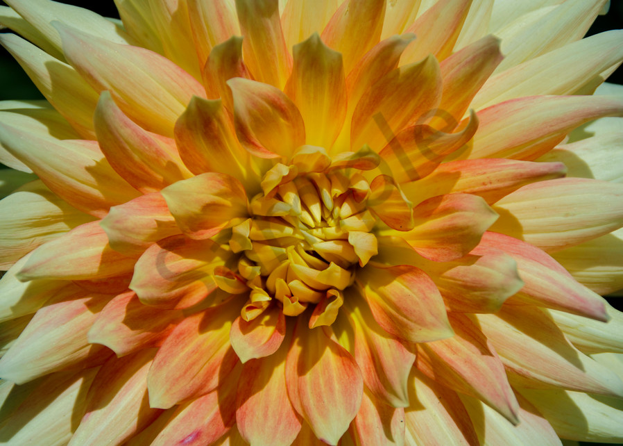 Pink Yellow White Flower Photography Art | Avner Ofer Photography