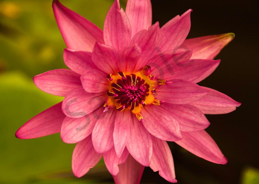 Water lily Kenilworth Garden
