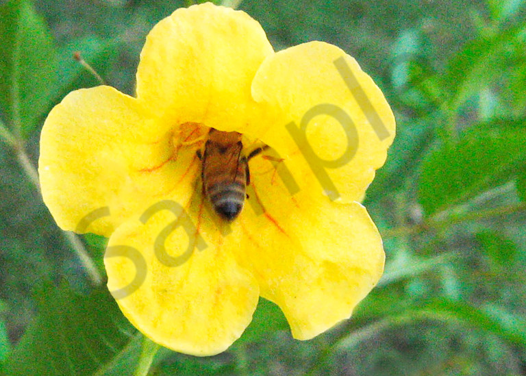 Bee In Yellow Flower. Photography Art | It's Your World - Enjoy!