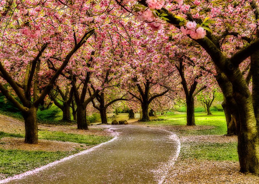 Trail through cherry blossom trees