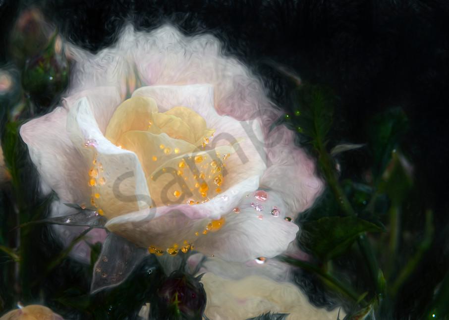 Vivid dew drops on white/yellow rose