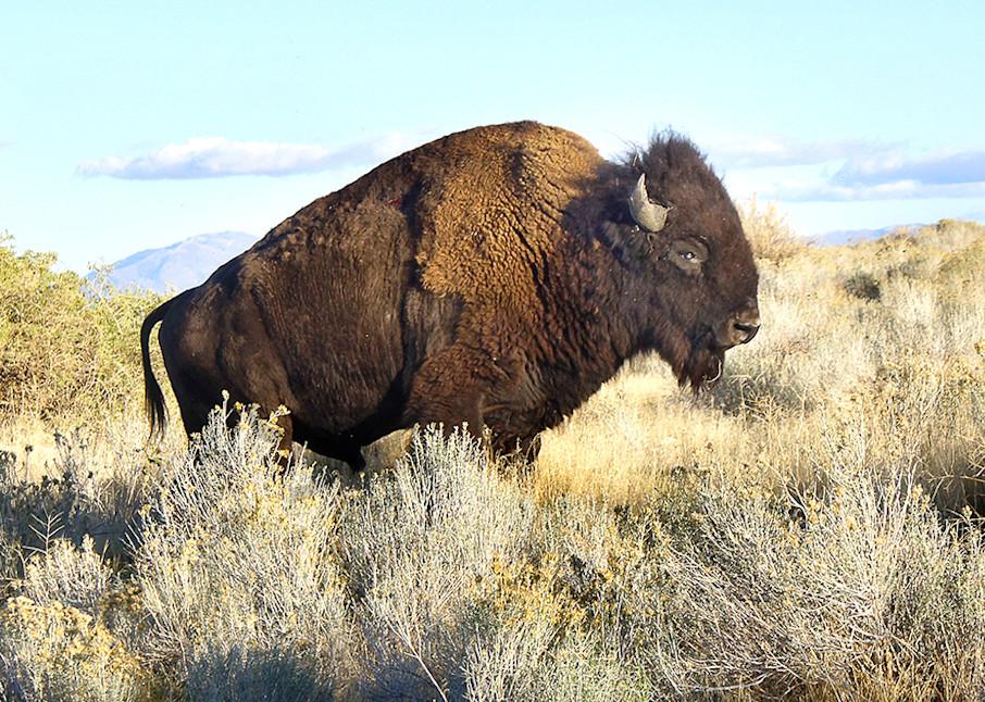 American Bison Art | Cincy Artwork