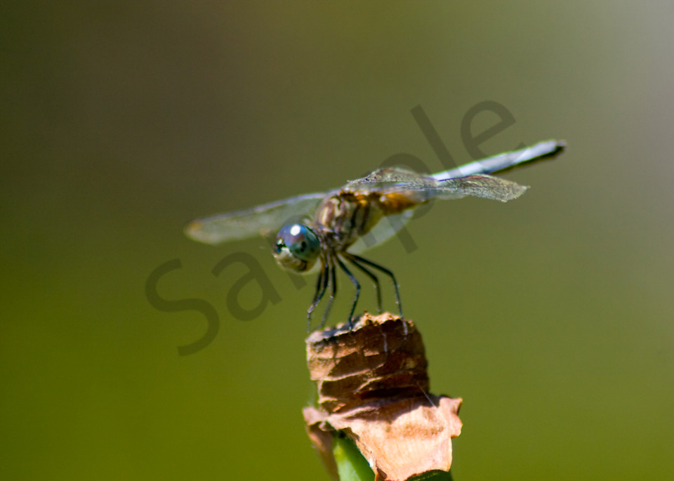 Blue Dragonfly Photography Art | It's Your World - Enjoy!