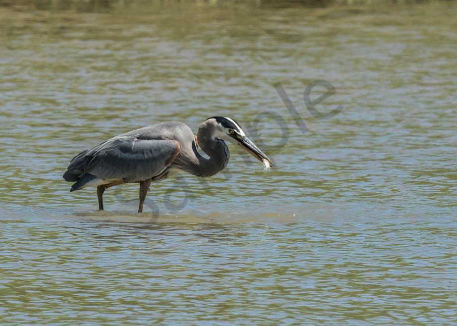 Great Blue Heron eating fish