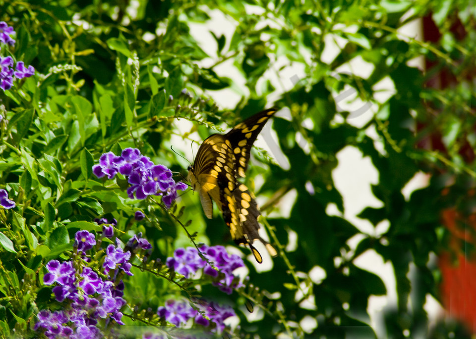 Butterfly On Butterfly Bush Photography Art   It's Your World - Enjoy!