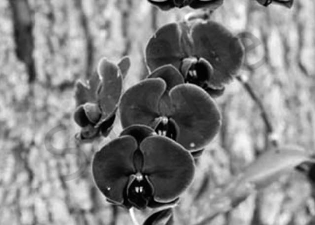 Dark Orchid Photography Art   CLAUDIA LARRAIN