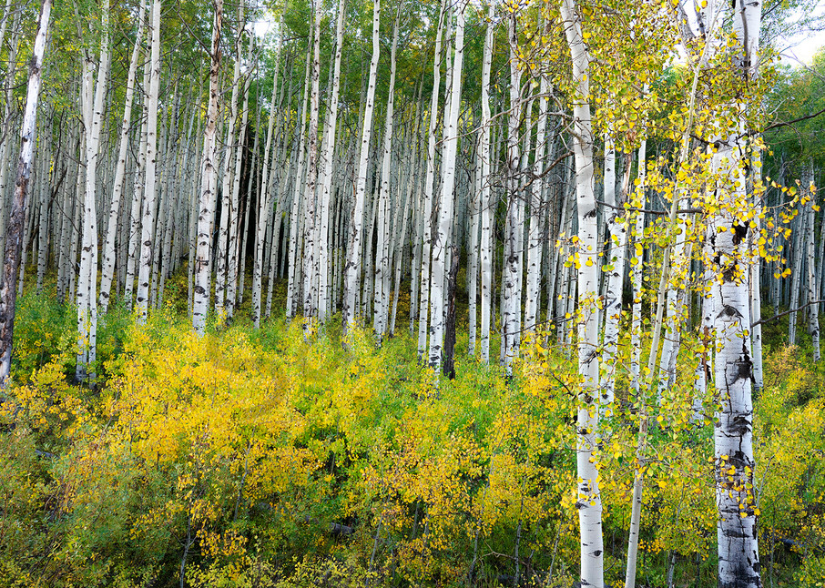 2823 Fall Aspen Grove Art | Cunningham Gallery