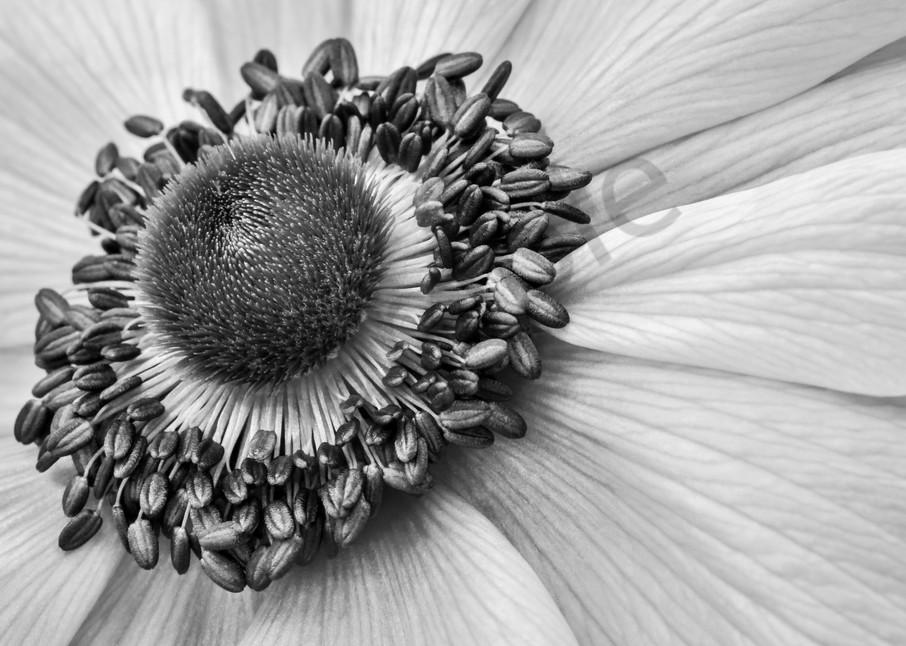 Windflower Photograph