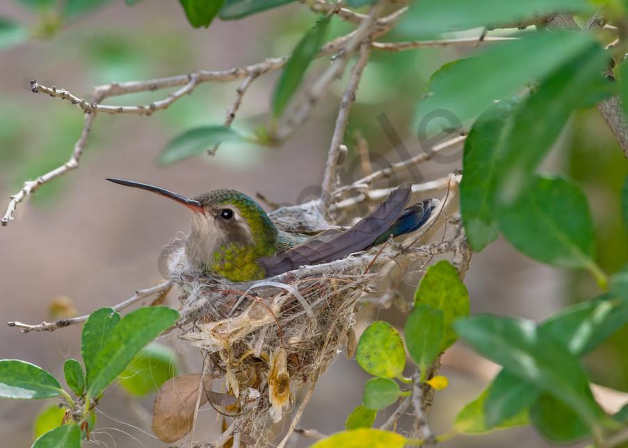 Broad-billed Hummingbird female on nest.