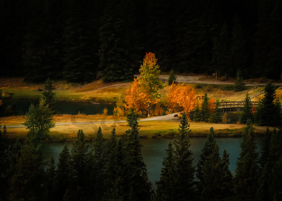 Aspen Trees showing Fall color in Banff National Park. Canadian Rockies|Rocky Mountains|