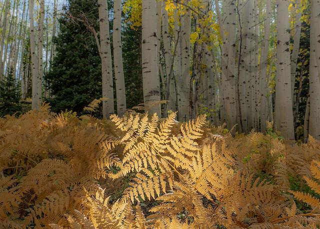 2772 Ferns And Aspen Art | Cunningham Gallery