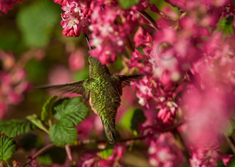 Female Rufous Hummingbird sampling red currant blossoms.