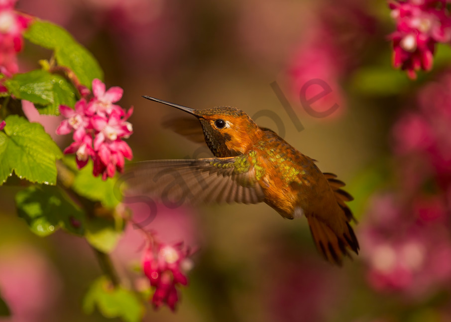 Male Rufous Hummingbird nectaring on flowering currant.