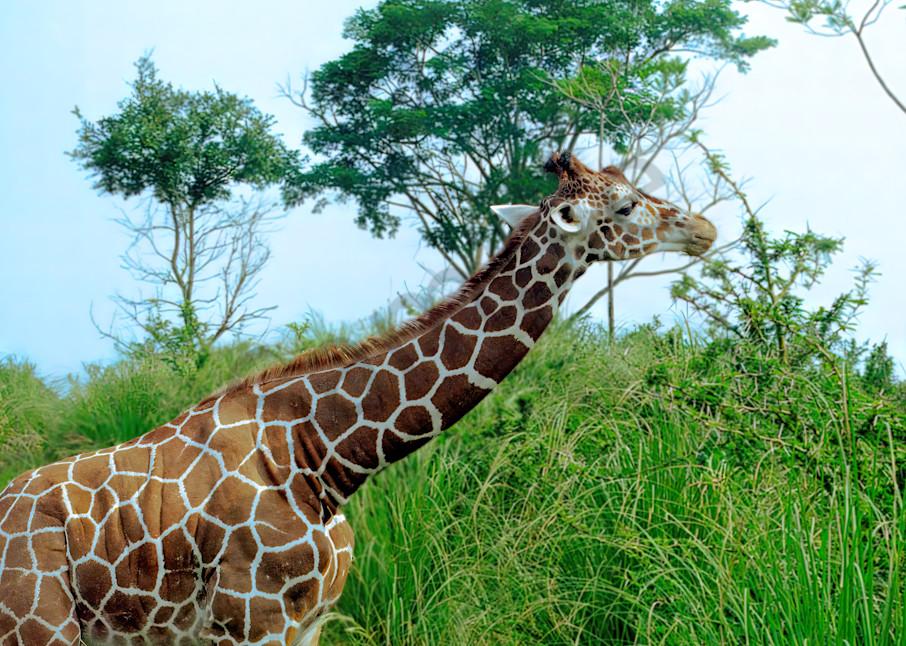 Giraffe Photography Art   RAndrews Photos
