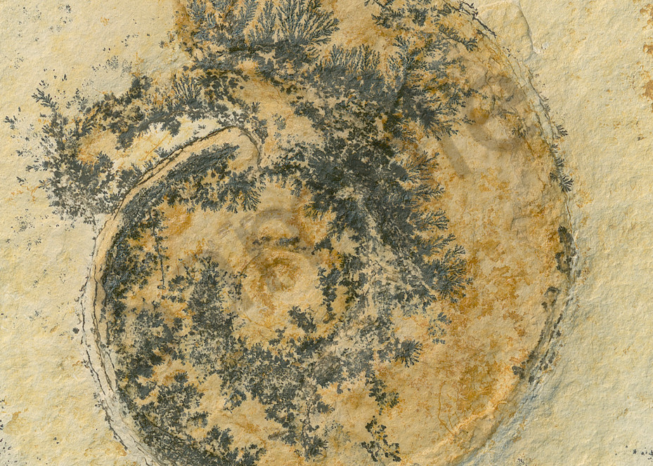 German Ammonite with Dendrites