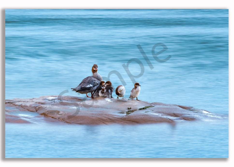 Merganser Family Photography Art | Kokanee Camera and Nelson Fine Art Printing