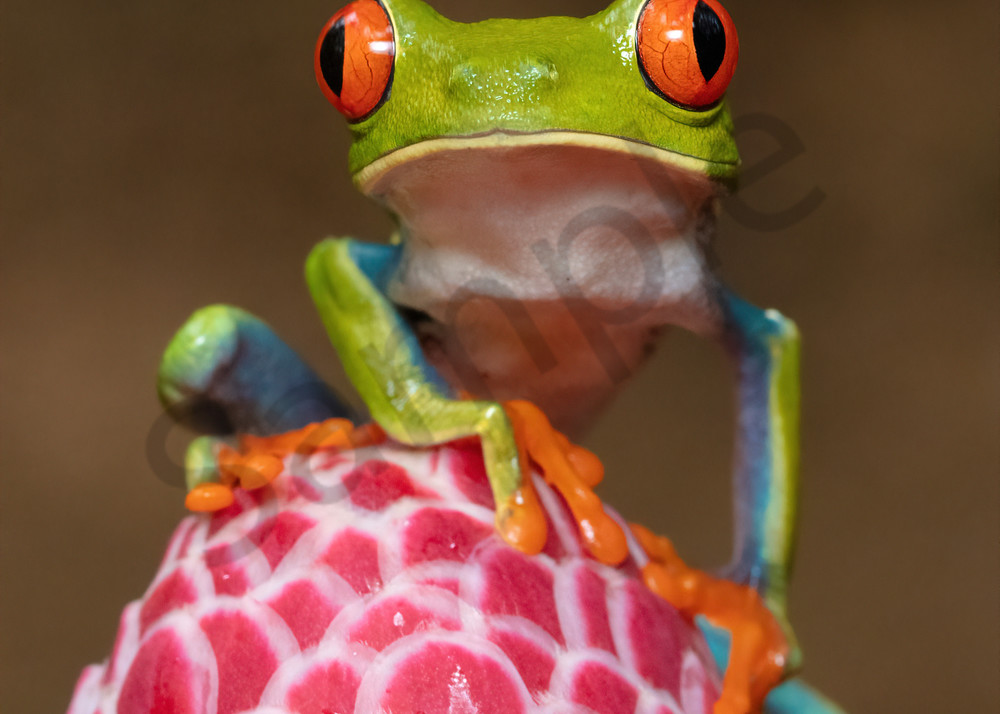 Red Eyed Tree Frog 4 Photography Art | John Martell Photography