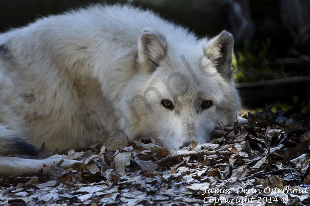 wolf ,akela,river valley