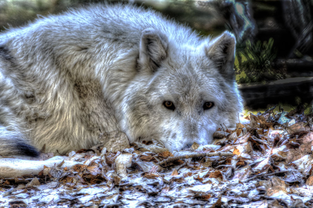 Wolf Photography Art | Swan Valley Photo