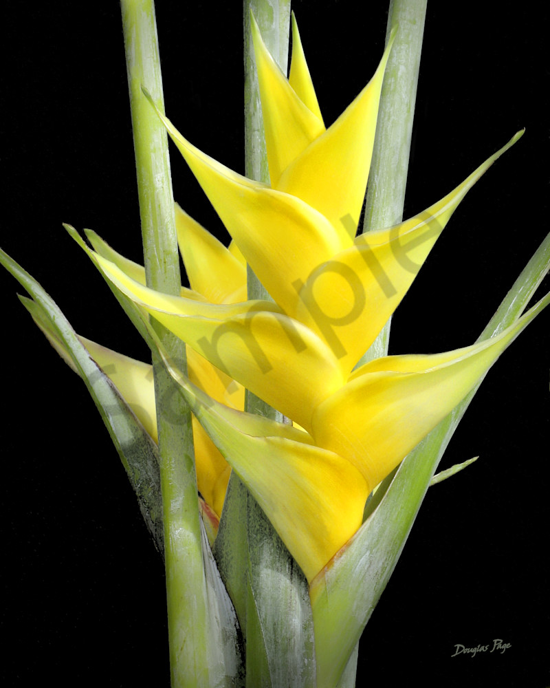 Hawaii Photography Wings Of Heliconia Yellow By Douglas Page