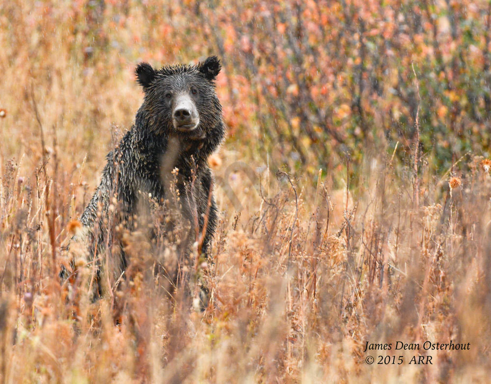 GRIZZLY BEARS, GRAND TETON NATIONAL PARK