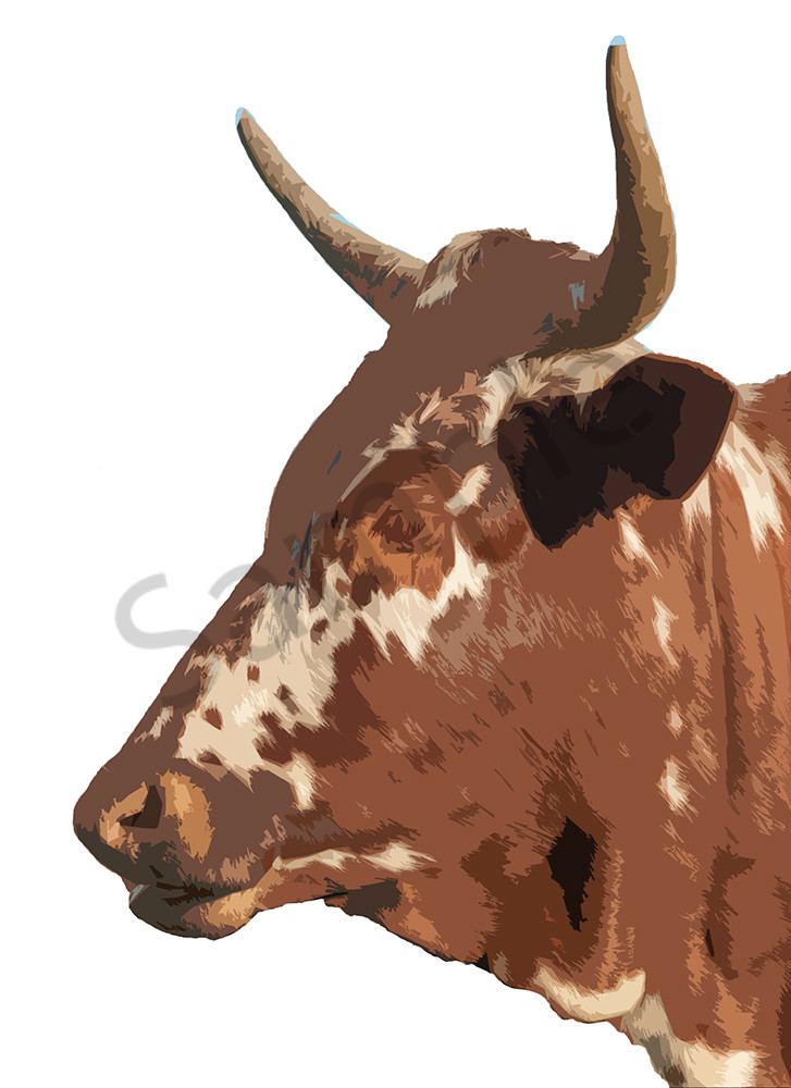 Brown Nguni cow side on